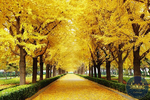 Tranh 3D hàng cây lá vàng rất hợp gia chủ tuổi mùi